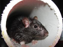 Norway rat crawls through PVC pipe in home.
